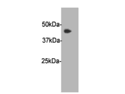 PAI-3 Antibody
