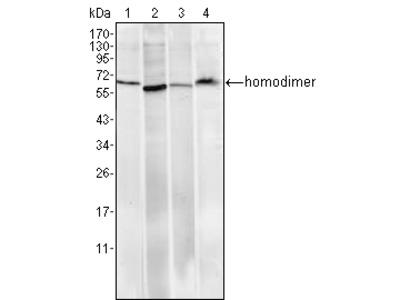 Pirh2 Antibody