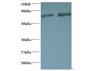 Rabbit anti-human Ras-related protein Rab-1A polyclonal Antibody, FITC conjugated