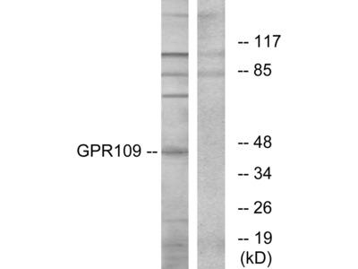 GPR109 Antibody