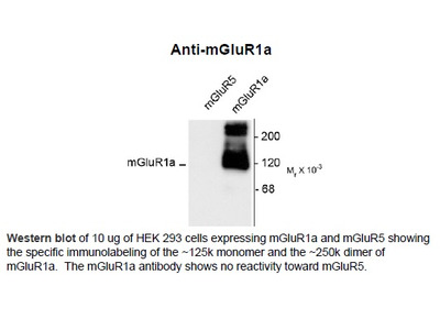 Anti-Metabotropic Glutamate Receptor 1a