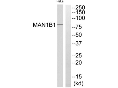 MAN1B1 Antibody