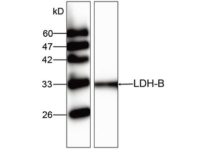 LDH-B Antibody