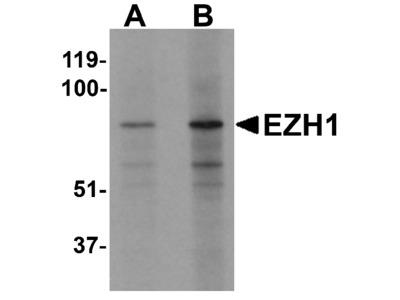 EZH1 Antibody