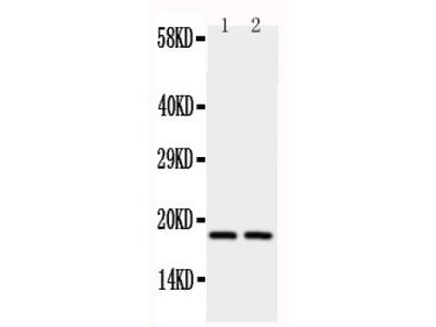 Anti-Cyclophilin A antibody