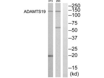 ADAMTS19 Antibody