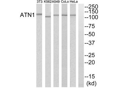 ATN1 Antibody