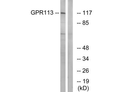 GPR113 Antibody