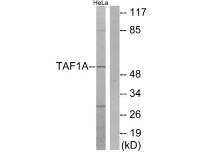 TAF1A Antibody