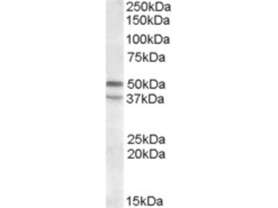 Goat anti-HTR7 / 5-HT7 Antibody