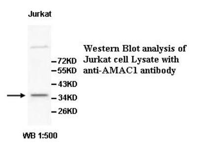 AMAC1 Antibody