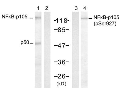 NF kappa B-p105/p50 (Ab-927) Antibody