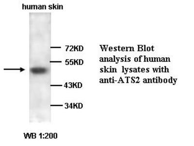ADAMTS-2 Antibody