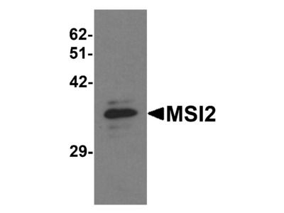 MSI2 Antibody