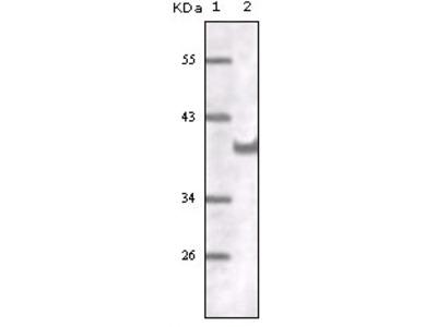 CD31 Antibody
