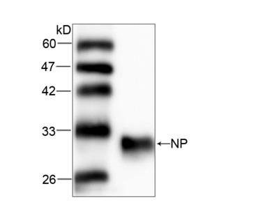 NP Antibody