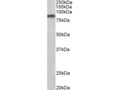 Goat anti-SLC6A3 / DAT Antibody