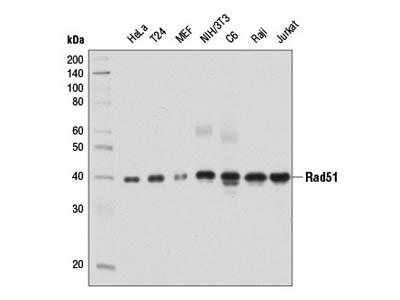 Rad51 (D4B10) Rabbit mAb