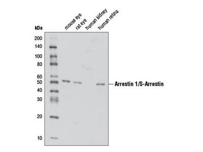 Arrestin 1/S-Arrestin Antibody
