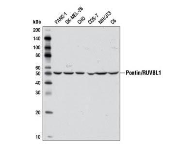 Pontin/RUVBL1 Antibody