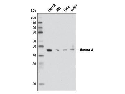 Aurora A (1F8) Mouse mAb
