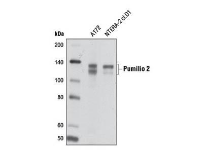 Pumilio 2 Antibody