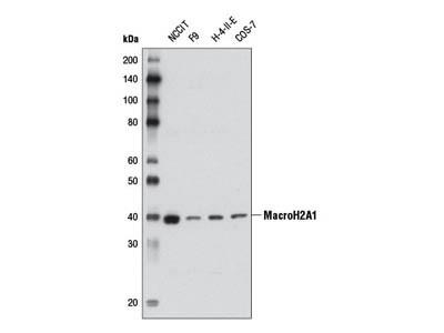 MacroH2A1 Antibody