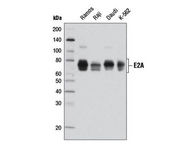 E2A (D2B1) Rabbit mAb