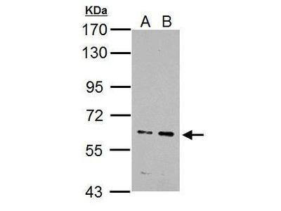 Anti-IKZF4 antibody