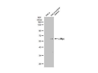 Anti-c-Myc antibody [GT168]