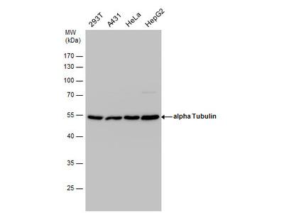 Anti-alpha Tubulin antibody [GT114]