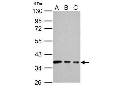 Anti-Connexin 40 antibody