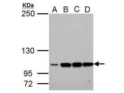 Anti-LRIG3 antibody