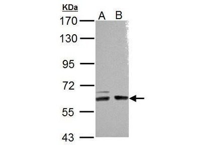 Anti-ARHGEF9 antibody [N2C2-2], Internal