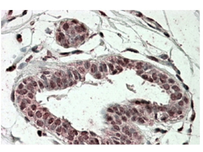 TREX2 goat polyclonal antibody, Aff - Purified