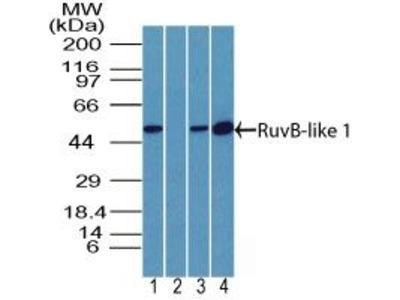 RUVBL1 Polyclonal Antibody