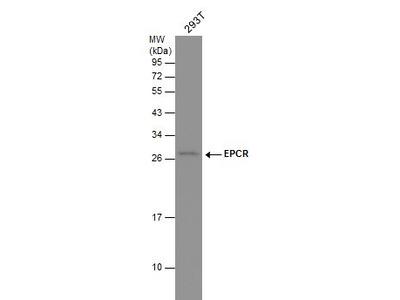 EPCR Polyclonal Antibody