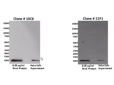 CXCL11 Monoclonal Antibody (10C6)