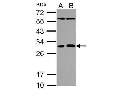 PAFAH1B2 Antibody