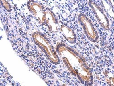 NR1 Polyclonal Antibody