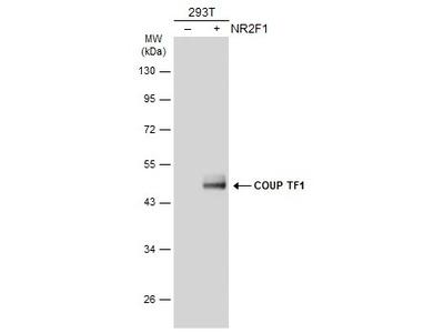 NR2F1 Polyclonal Antibody