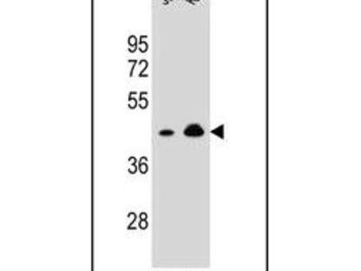 OR10A4 Polyclonal Antibody