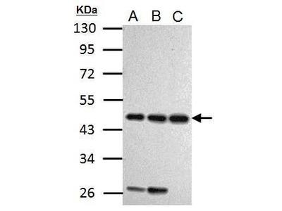 Cyclin I Antibody
