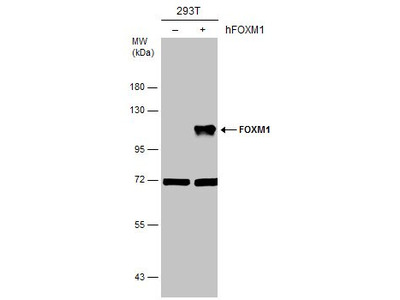 FOXM1 Polyclonal Antibody