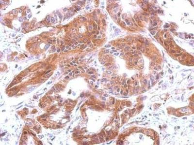 Complement C4 Antibody