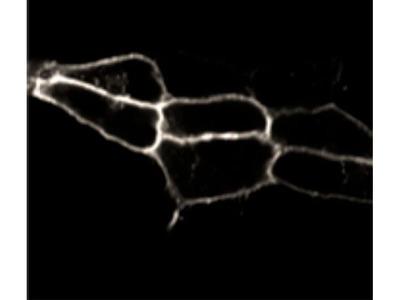 Endothelin B Receptor Polyclonal Antibody