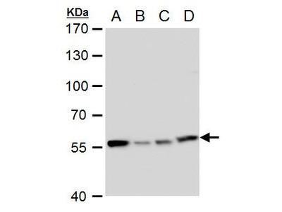 TCP-1 eta Polyclonal Antibody