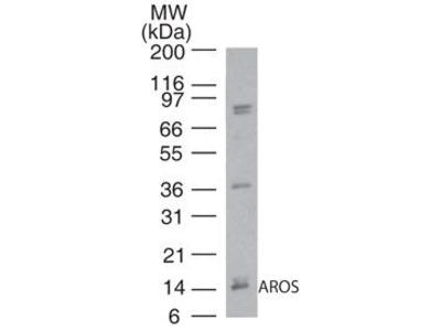 AROS Polyclonal Antibody
