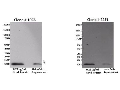 CXCL11 Monoclonal Antibody (22F1)