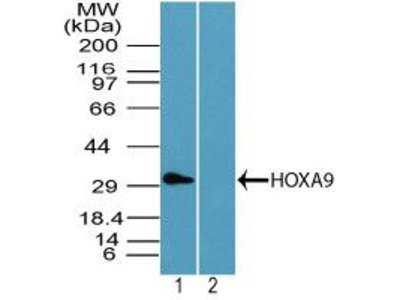 HOXA9 Polyclonal Antibody